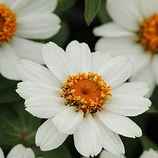 zinnia zahara white