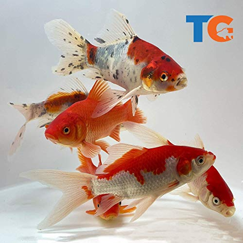 Toledo Goldfish Live Shubunkin, Sarasa, and Comet Goldfish Combo for Ponds or Aquariums – USA Born and Raised – Live Arrival Guarantee (3 to 4 inches, 24 Fish, 8 of Each)