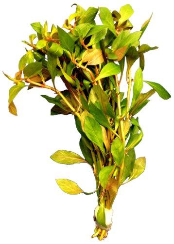 1 Bund ludwigia palustris red, Aquarium-Pflanzen, Wasserpflanzen