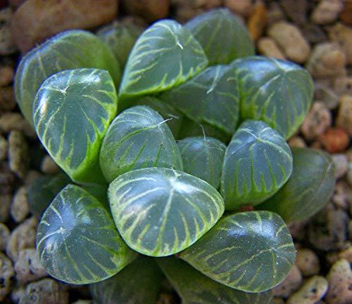 PLAT FIRM GRAINES DE Germination: RARE-100-Pcs-Haworthia-COOPERI-var-Truncate Graines De Plantes Succulentes