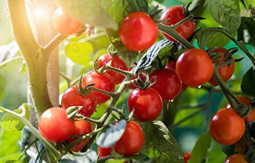 semi di pomodoro ciliegino gialli, rossi, neri,...