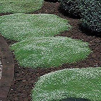 Potseed Keimfutter: Irish Moss 5000 Samen Begehbare Bodendecker Rasen Ersatz Permakultur Garten