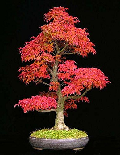 ShopMeeko Seeds:Bonsai 30pcsseeds/Pack Mini Beautiful Red Maple Bonsai DIY Bonsai Maple Tree