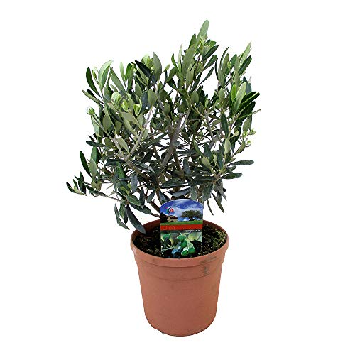 Mein schöner Garten Olivenbäumchen - 1er Set - Olea europaea - Olivenbaum - Liefergröße: 30-40cm - winterhart - pflegeleicht - mediterran