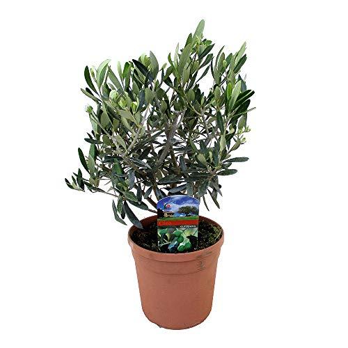 Mein schöner Garten Olivenbäumchen -...