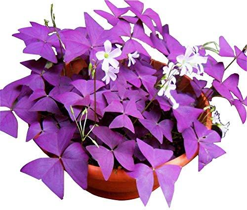 Violet Shamrock Oxalis Triangularis Graines 5+ Ampoules Organiques Plantes Graines Facile à Cultiver pour Jardin Maison Jardin Extérieur Plantation Agricole
