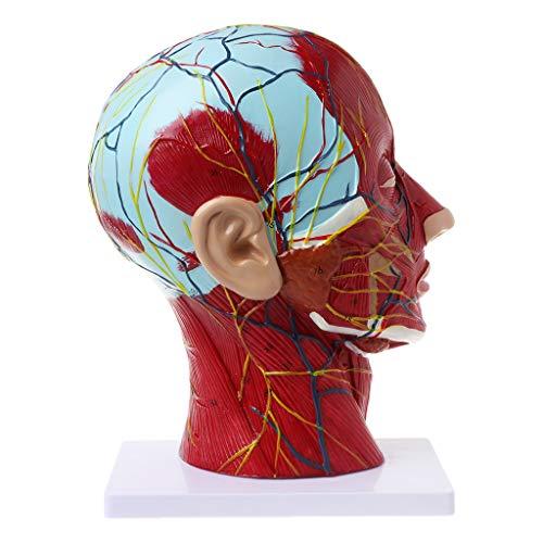 NABIAN Modelo anatomia facial de cabeça humana, meia cabeça anatômica rosto médico, pescoço cerebral, seção mediana, modelo de estudo nervo, vasos sanguíneos para ensino