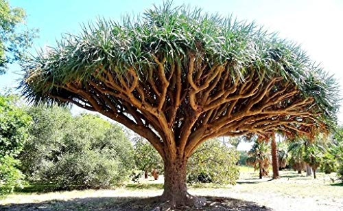Dragon's Blood Tree, Dracaena draco rare Canary Island palm bonsai seed 10 SEEDS