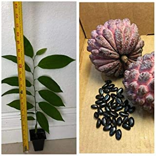 "1 Red Annona Sugar Apple Anon Morado Sweetsop Tree Plant 2.5""Pot"