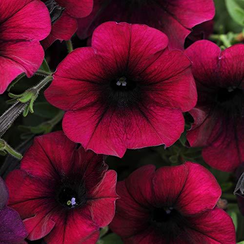 Outsidepride Burgundy Velour Easy Wave Petunia Flower Seeds - 15 Seeds