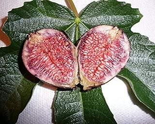 Details About FICUS CARICA 'Violette DE Bordeaux' - FIG - Plant - Approx 6-9 INCH - DORMANT