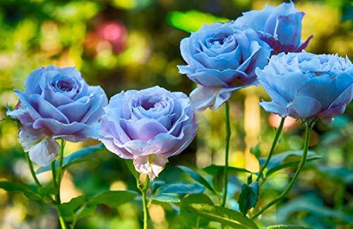 20 Pcs Rare Light Blue and Purple Japanese Rose Flower Seeds