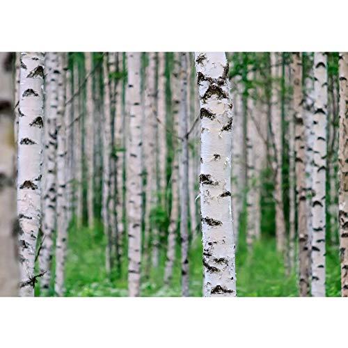 Fototapete Wald - ALLE WALDMOTIVE auf einen Blick ! Vlies PREMIUM PLUS - 200x140 cm - BIRCH FOREST no.2 - Birkenwald Natur Wald Bäume Baum Forest Herbst - no. 081
