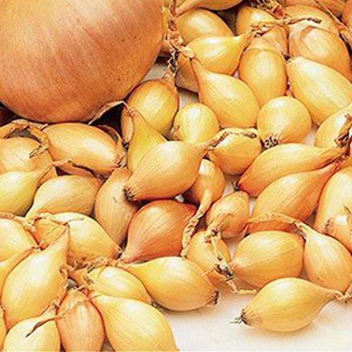 Tomasa Samenhaus- 100 Stücke Riesige ZwiebelSamen, 12typen Bio Zwiebeln mehrjährig Gemüse Samen Zwiebel Saatteppich Gemüsen Saatgut Garten