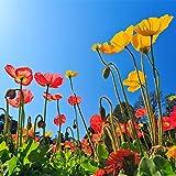 Fnho Raras Semillas de Hierba,Planta Maceta Semillas,Especies de Flores Resistentes perennes, Flor de Amapola 0.5 kg