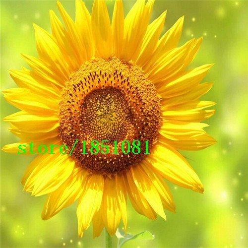 Big promotion 50 mini-graines de tournesol graines de tournesol nain série de tournesol hauteur 40cm Graines de fleurs