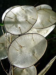 Money Plant 20 Seeds-Silver Dollar Plant-Honesty-Annual