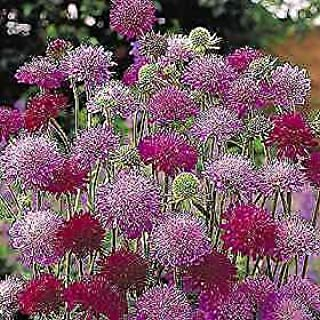 Details About Knautia macedonica Melton Pastels 100 Seeds Need More? Ask