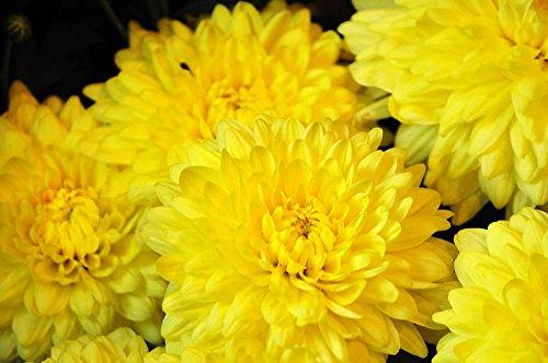 Bright yellow Crysanthemum