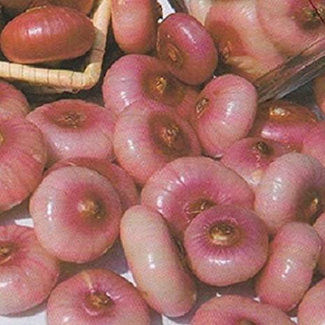 Genuine Free shipping anywhere in the nation Free Shipping Dichondra 100pcs Pink Italian Bergamo Onion Piatta Cipollini See