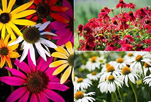 Rote Sonnenhut MIschfarben 70 Samen, Echinacea Mix 70 Seeds,