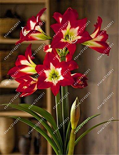 bulbos verdaderos Amaryllis, Hippeastrum bulbos bulbos de flores bonsái Amarilis rizomas Bulbos Barbados lirio planta bonsai jardín -2 bombilla 12