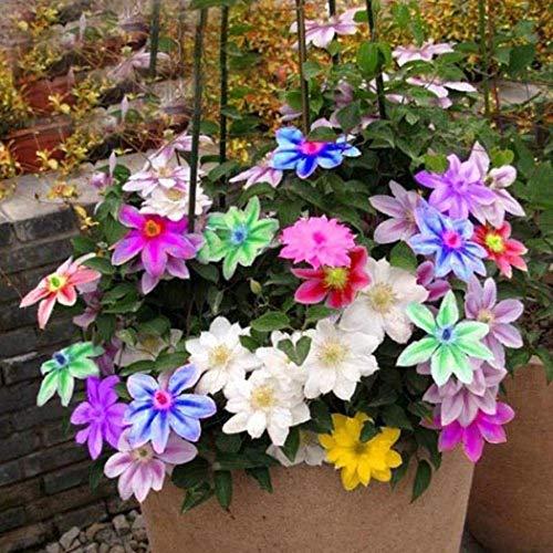 Tomasa Samenhaus-50 Stück Clematis Kletterpflanzen,Blumensamen Saatgut winterhart mehrjährig Blumen Landschaftseffekte für Terrassen,Zäune,Garten