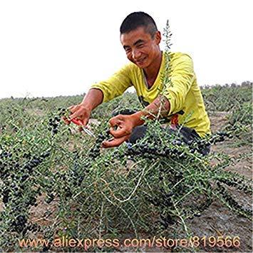 ASTONISH Erstaunen SEEDS: Tatsächlicher Goji Beeren Baumsamen Ningxia Goji Sementes Startseite Bonsai Außengartenpflanzen Hof