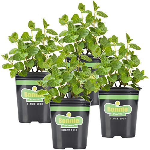 Bonnie Plants Spearmint Live Edible Aromatic Herb Plant - 4 Pack, Pet Friendly,...