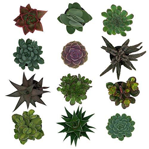 Pasiora Sukkulenten Mix im 6cm Topf, verschiedene kleine Pflanzen, Geschenkset (12 Stück)