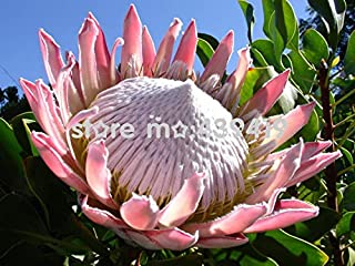 New Arrival!!! 100 pcs/Bag,Protea Seeds, Potted Seed, Flower Seed, Bonsai Seeds Garden Plant, Germination Rate 95%+, (Mixe