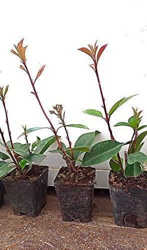 Photinia red robin 30 piante (foto reali)