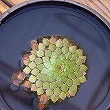 Granos de pulgas100Pcs/Sac Hydrophyte Seeds DIY Decorative Green Garden Foreground Aquarium Water Grass Seeds for Home - G Aquatic Plant Seeds