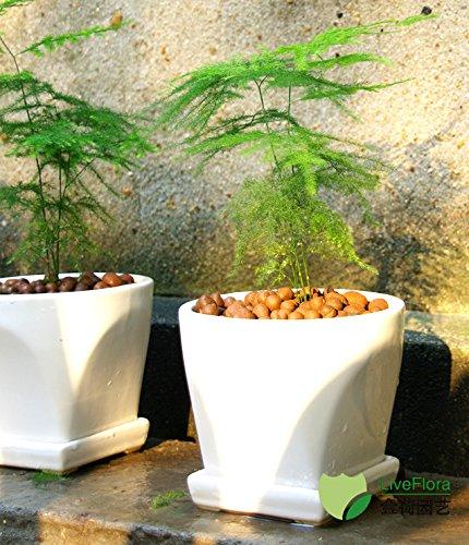 1bag = 20pcs Big Pack semences de maïs japonais maïs délicieux Niblet Tomate cerise Bonsai Légumes Graines de plantes bio Maison & Jardin