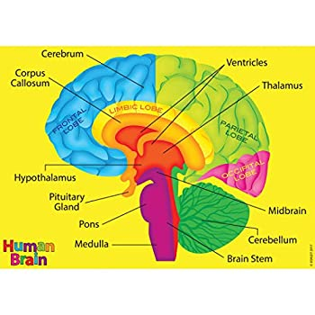 Best brain labeled Reviews