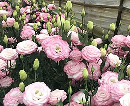 Charm4you Jardín Ornamental balcón,Cuatro Estaciones de plantae-Pink 200pcs,Perennes Resistentes para balcón