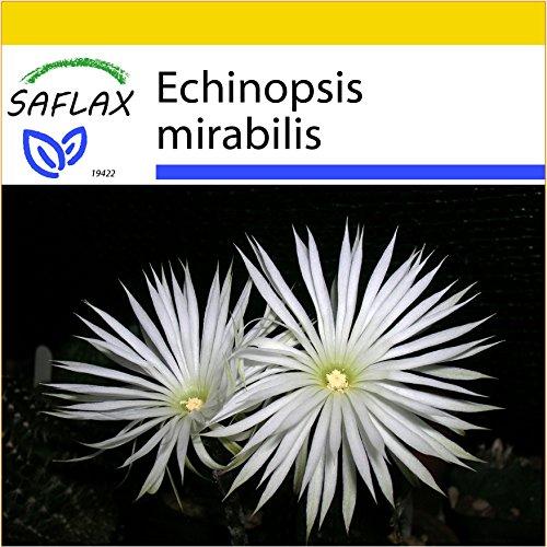SAFLAX - Anzucht Set - Kakteen - Seeigelkaktus - 40 Samen - Mit Mini-Gewächshaus, Anzuchtsubstrat und 2 Töpfen - Echinopsis mirabilis