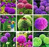 TOMASA Seedhouse- Gigante ornamental Allium Lirio Bola La cebolla perenne resistente Hierba Planta apta para el balcón, jardín10 / 20/50/100