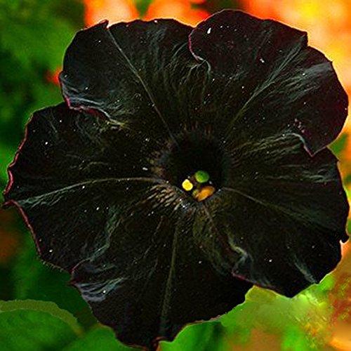 Inovey 100Pcs Negro Petunia Semillas Raras Bonsái Flor Semillas Anual Bonsais Petunia
