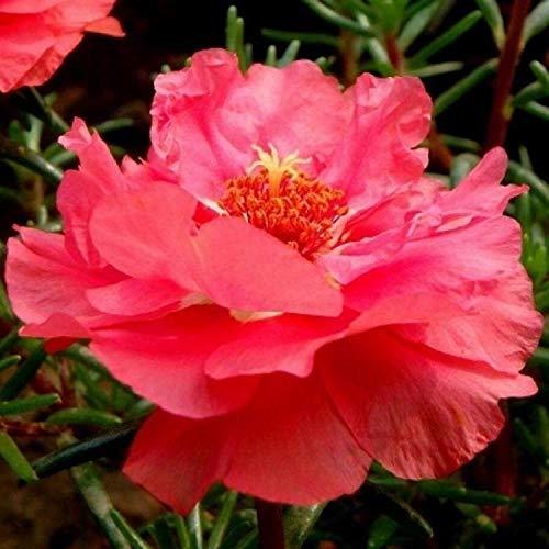 XINDUO mélange Fleurs graines,Balcon intérieur Quatre Saisons germé espèce de Fleur Facile à Vivre-Rouge_50 000 Capsules,Graines de Parfum rares