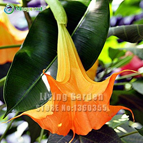 50 Pcs Datura semences Balcon Fleurs plantes en pot Bonsai Graines Graines Garden Mandala Flower