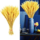 MissZZ 200 Stems Golden Dried Wheat Sheave Bundle,Fall Flower Arrangements Wheat Roll for DIY Home Table Wedding Christmas Decor