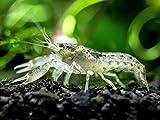 Aquatic Arts - 1 Male Brazos Crayfish - Live Freshwater Aquarium Lobster/Crawfish/Crawdad/...