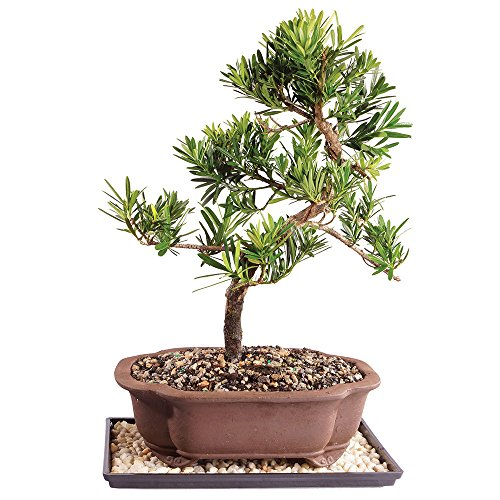 Brussel's Live Podocarpus Micro Phyllus Outdoor Bonsai Tree - 11 Years Old; 14' to 20' Tall with Decorative Container, Humidity Tray & Deco Rock