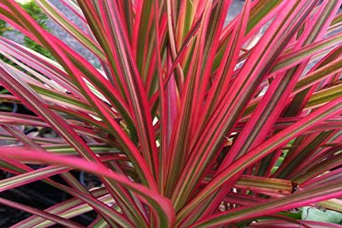 Aquarium Fan Dracaena Marginata Rot - Lebende Terrarienpflanze