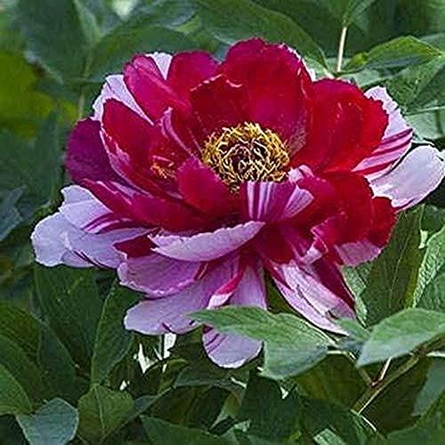 2 Stücke Pink Zweifarbig Pfingstrose Zwiebeln Wurzeln Garten Im Freien Dekorieren DIY Gartenarbeit Das Ganze Jahr über Pflanzen Einfach Zu Pflegen Bringen Sie Ein Gefühl Der Leistung
