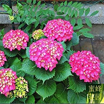 VISTARIC 1: neue Ankunfts-Art und Weise Sommer Ausgeschlossen Regular Beautifying gemßigter Balkon Kleiner Mini blhende Pflanzen Samen die von 20 1
