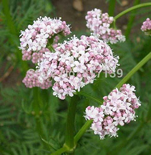 Gartenpflanze 50 Samen Baldrian, Valeriana officinalis Legevendelrot, Garten Heliotrop heile alle Kräuter-Blumensamen Freies Verschiffen