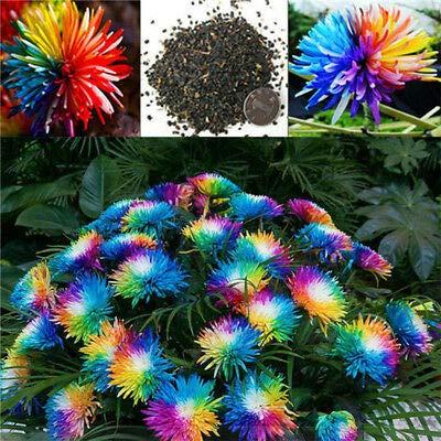 begorey Garten - Regenbogen Chrysantheme Samen Seltene Farbe Blumensamen Rainbow Chrysantheme Blumensamen Sommerblumen Blütenmeer Saatgut für Ihrem Garten Balkon Terasse