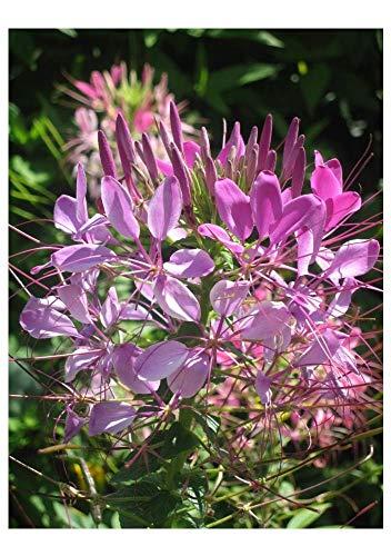 Premier Seeds Direct CLE01F 1.5g feinste SpinnenblumenSamen (Packung mit 780)